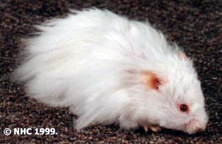 انواع الهامسترز بالصور Albino