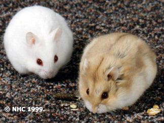 white dwarf hamster with red eyes - photo #34